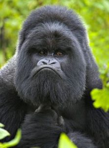 gorilla funny